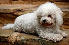 bichon frise vs yorkie giving this to your bichon frise daily could help alleviate