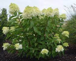 plant preview how to a flowering shrubs into a distinctive