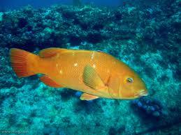 Home Blue Fish Achoerodus Viridis