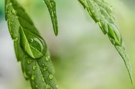 Recovering Cannabis Plants From High by How To Protect Your Cannabis Plants From Weather Extremes