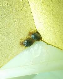 light bed bug infestation how to identify a bed bug infestation with pictures wikihow