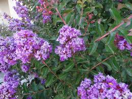 Tree With Purple Flowers Lagerstroemia Indica Purple Cultivar With Purple Flowers Small