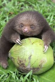 4 toed sloth 4 toed sloth claudiubita