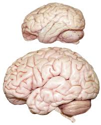 Gross Anatomy Of The Brain And Cranial Nerves Worksheet Williamcalvin Com Brainforallseasons Img Bonobolh