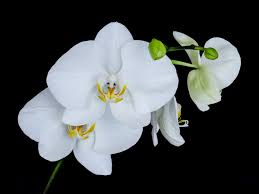 white orchids white orchids bachelor pad a k a cave
