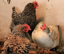 it u0027s a mystery which of your hens are laying eggs here u0027s how to