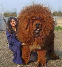 lion dogs this is the immense tibetan lion dog they are powerful dogs