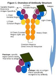 heavy chain light chain fundamentals of antibody structure function maine biotechnology