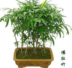 flower ornamental bamboo shape indoor plants bonsai in bonsai from