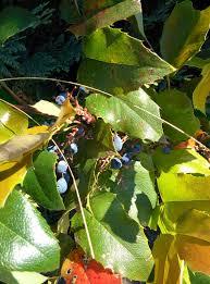 arbuste feuillage pourpre persistant le mahonia faux houx ou mahonia à feuilles de houx mahonia