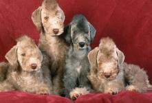 feeding a bedlington terrier bedlington terrier dog breeds at mypetsmart com