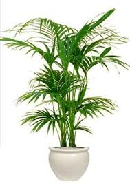 plant for office hire kentia palm