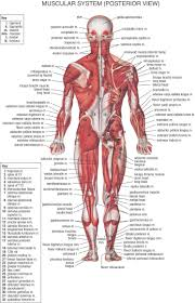 Human Anatomy Atlas Anatomy Of Human Body Muscles Muscles In Human Body Diagram