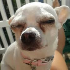 Squinty Eyes Meme - 29 chihuahuas fit to rule the world dog animal and baby chihuahua