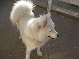 australian shepherd wolf mix desert canyon living samson says i u0027ll teach you how to howl you