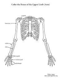 upper limb skeleton coloring