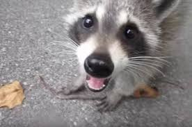 family saves and befriends sick abandoned baby raccoon