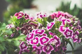 sweet william flowers royalty free sweet william flower pictures images and stock
