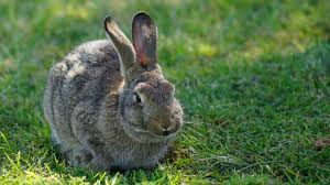 a virus is taming australia u0027s bunny menace and giving endangered