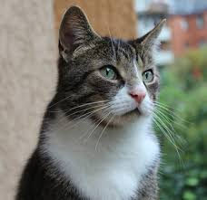 dementia in older cats symptoms care and treatment lovecats