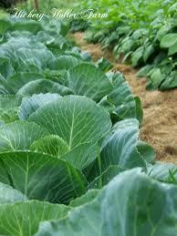 Mulching Vegetable Garden by Hickery Holler Farm No Till Gardening And Heavy Mulch