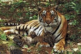 tiger and cubs tigers tigers and cat