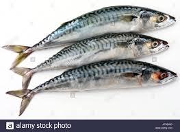 three mackerel fish cut out stock photo royalty free image