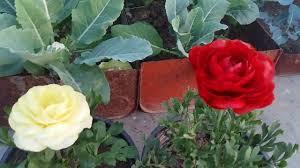 Ranunculus 209 ग ल ब नह ल क न ग ल ब स कम नह