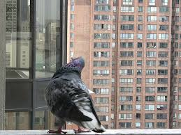 how to get rid of pigeons from your balcony no more birds