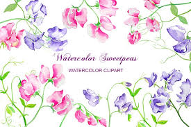 sweet peas flowers watercolor sweet pea flowers illustrations creative market