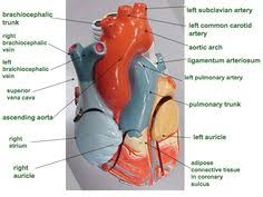 Sheep Heart Anatomy Quiz Circulatory System Diagram Worksheet Circulatory System Heart