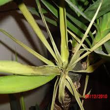 Yucca Wohnzimmer Yucca Palme Gelbe Und Vertrocknete Blätter