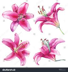 Lilies Flower Set Collection Closeup Pink Lilies Flower Stock Illustration