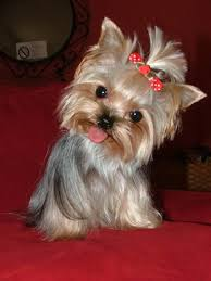 yorkie hairstyles yorkie haircut exles top 105 latest yorkie haircuts pictures yorkshire terrier haircuts
