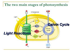 The Light Reactions Of Photosynthesis Use And Produce Chap 8 Concept Checks