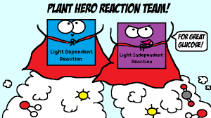 What Happens During The Light Dependent Reactions Of Photosynthesis Together The Light Dependent Cycle And The Light Independent Cycle