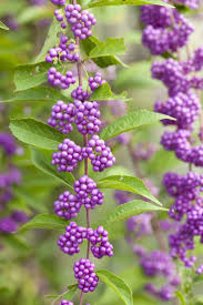 the 25 best fast growing shrubs ideas on pinterest fast growing