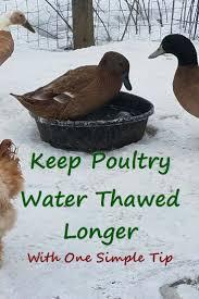 121 best ducks images on pinterest backyard chickens raising