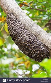 wild bees hive on the tree in komodo island stock photo royalty