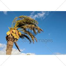 palm tree blowing in the wind gl stock images
