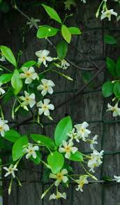 Fragrant Patio Plants - like other climbing plants the growing end of a clematis vine is