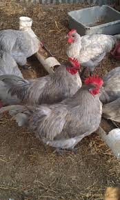 545 best chickens u0026 roosters images on pinterest chicken coops