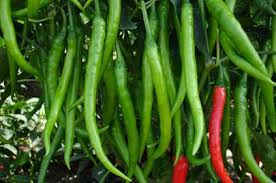 Green Chilli Plant Diseases - hybrid chilli seeds hybrid red chilli seeds suppliers bangalore