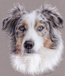 d b australian shepherds australian shepherd by kot filemon on deviantart