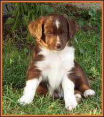 australian shepherd 7 weeks mini aussie pup for sale 2014 litter 5 callie pup 3 blue eyed