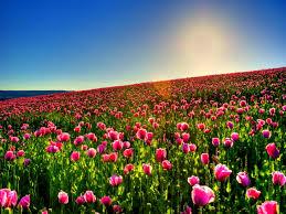 lovely tulip field wallpaper 2560x1920 23240