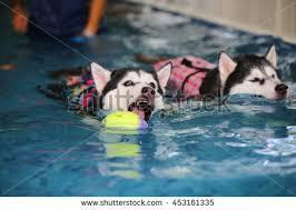 siberian husky siberian husky swimming dog stock photo 471002831