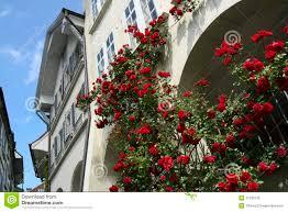 climbing rose bush on building stock photo image 11532730