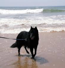 belgian sheepdog training beach dog belgian sheepdog pinterest photos