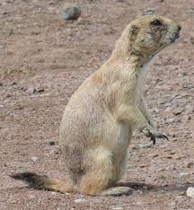 Tailes by Black Tailed Prairie Dog Wikipedia